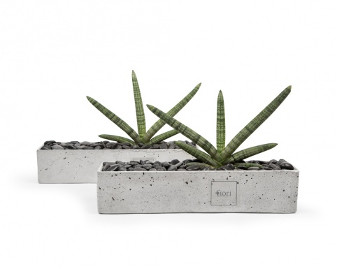 Sansevieria cylindrica in rectangular concrete pot