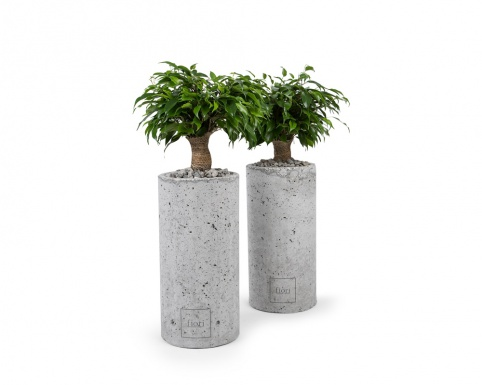 Ficus benjamina in cylindrical concrete pot