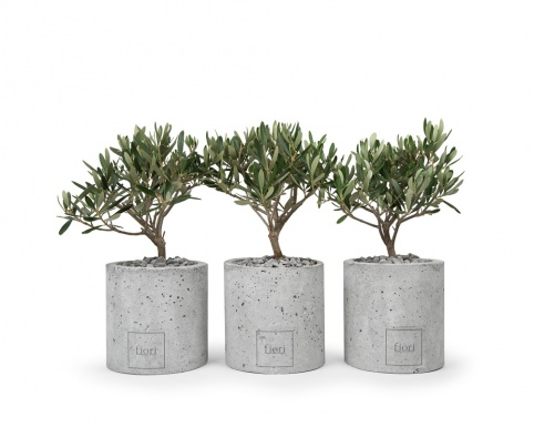 Olive plant in round concrete pot
