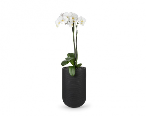 3-stem white phalaenopsis orchid  in black ribbed ficonstone pot