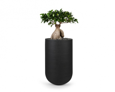 Ficus benjamina bonsai in black ribbed ficonstone pot