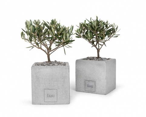 Olive plant in square ficonstone pot