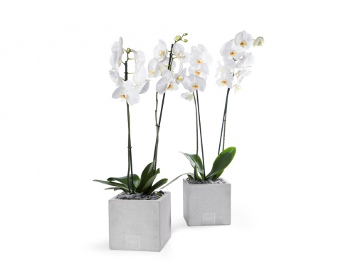 2-stem white phalaenopsis orchid  in square ficonstone pot